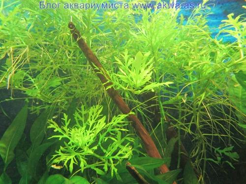 Аквариумное растение синема