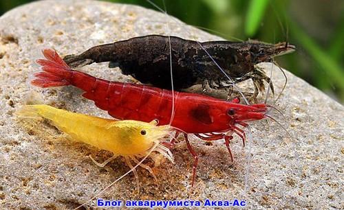 alt=креветки в аквариуме