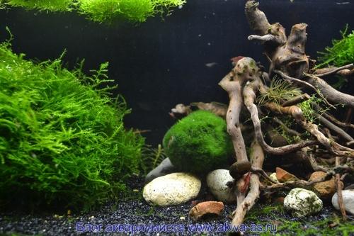 Креветки в аквариуме