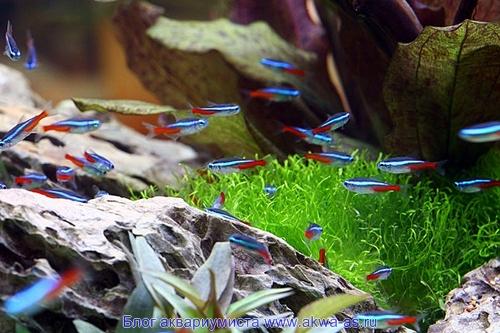 Аквариумная рыбка голубой неон