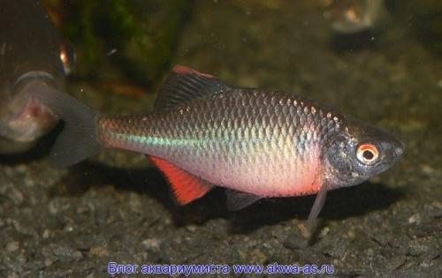 alt=Рыба горчак, содержание в аквариуме