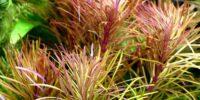 pogostemon-stellata-pogostemon-stellatus