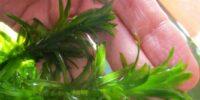 Элодея аквариумное растение