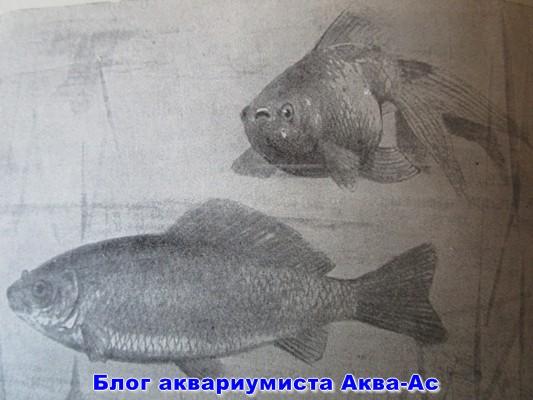 Карась и золотая рыбка