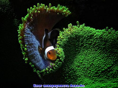 Рыбка клоун в актинии