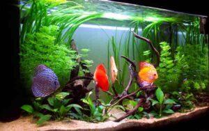 alt=аквариум с дискусами