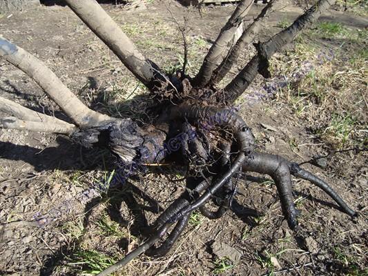 Коряга корень груши