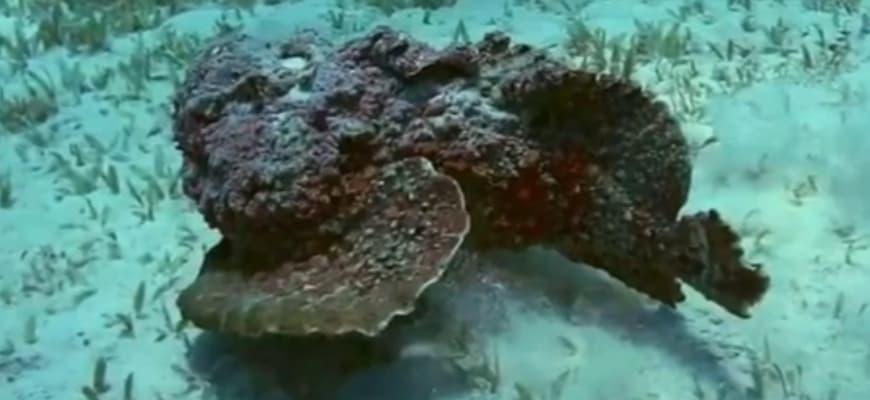 Каменная рыба