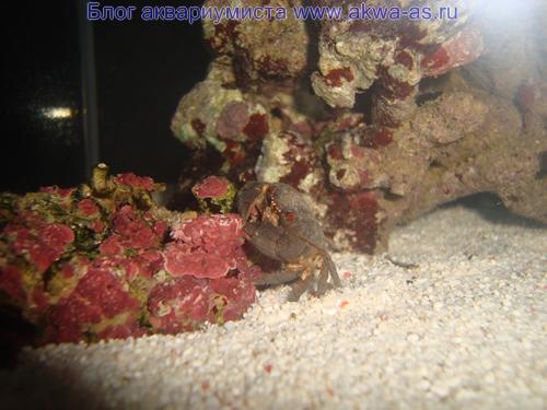 Красноглазый краб в микро море