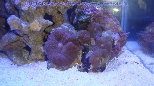 Дискоактинии в микро море