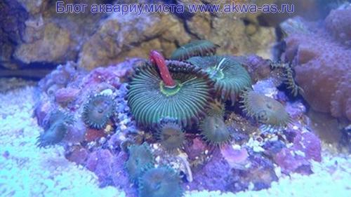 Палитойя микро море