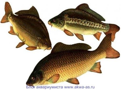 Искусственные корма в выращивании карповых рыб