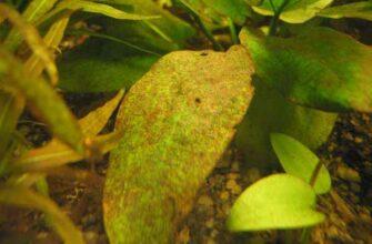 Диатомовые (бурые) водоросли в аквариуме