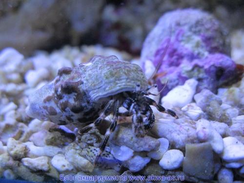 alt=Рак отшельник в аквариуме