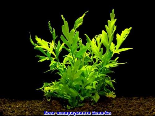 Неприхотливое растение поротник крыловидный
