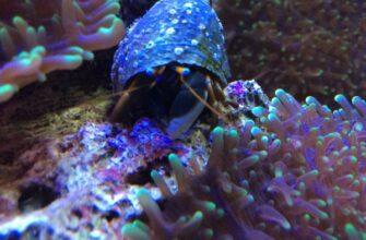 Рак отшельник в аквариуме