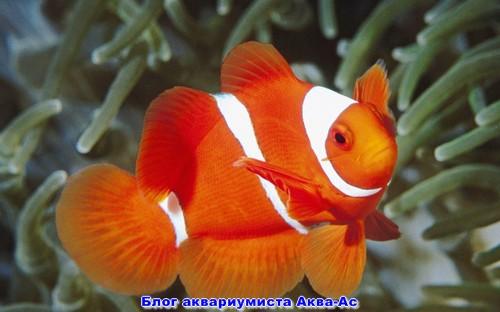 Рыбка клоун в аквариуме
