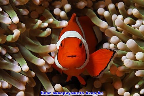 Морская рыбка клоун
